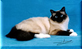 GRP Taron's Pooka - Seal Point Birman